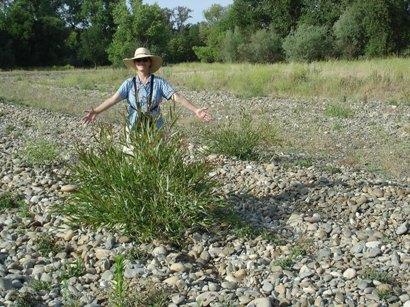 Tuolumne River Conservancy California - Bobcat Flat - Cuttings at Ten Months