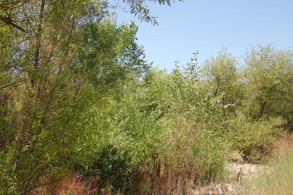 Tuolumne River Conservancy California - Bobcat Flat Phase 1 - Riparian Forest - 2019