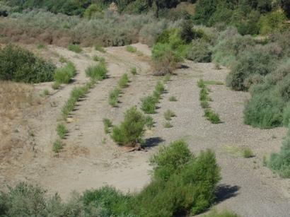 Tuolumne River Conservancy California - Waterford Riparian Restoration - Example of Plantings