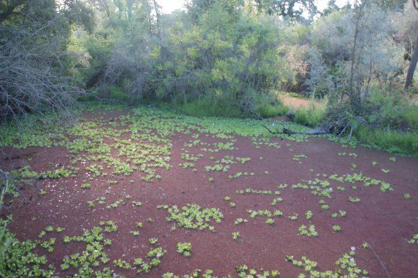 Tuolumne River Conservancy California - Duck Slough Pre-Restoration